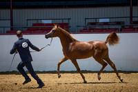 Class 204 Arabian Filly Breeding Championship - Yearlings