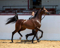 Class 19 - Arabian Colts/Stallions 3 & 4 Years Old