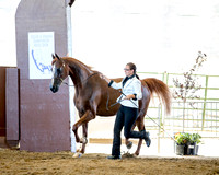 Class 100 HA Gelding In-Hand - 4 Yrs/Over ATH & Championship