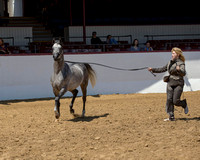 Class 17 - Arabian Colts/Stallions AOTH 2 & Over