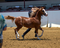 Class 201 HA Yearling Filly Breeders Sweepstakes