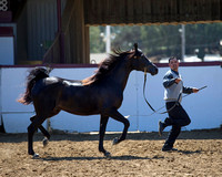 Class 216 Arabian Gelding Championship - ATH 2 Yrs & Over