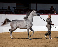 Class 8 - Arabian Fillies/Mares AOTH 2 & Over