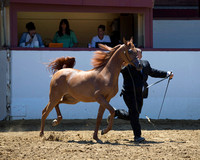 Class 210 Arabian Filly Breeders Sweepstakes - Yearling