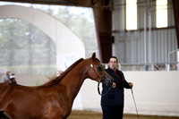Class 49 Arabian Filly/Mare Breeding Championships