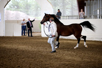 Class 56 Arabian Colt/Stallion Breeding All Ages ATH