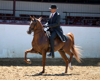 Class 333 - Arabian English Pl/Jr Horse 5 & Under