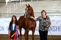 Class 88 - Arabian Gelding In-Hand/Championship/ATH