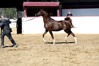 Class 12 - Arabian Fillies/Mares 5 Years & Over
